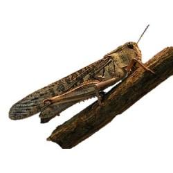 Langosta para alimento de reptiles, anfibios, mamíferos y aves