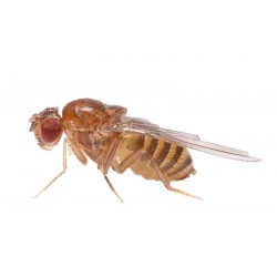 Drosophila (cultivo 500 cc)