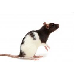 Rata adulta