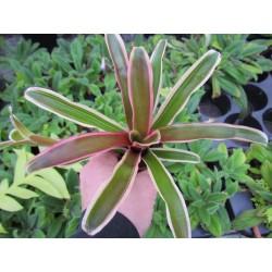 Neoregelia fireball variegata