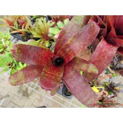 Neoregelia red waif