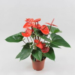 Anthurium Mini Red