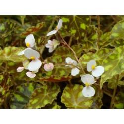 Begonia bowerae 'tiger'