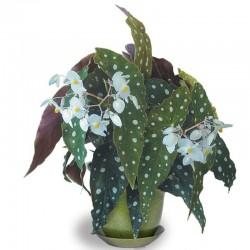 Begonia maculata 'Wightii'