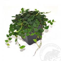 Ficus sp. 'Colombia'