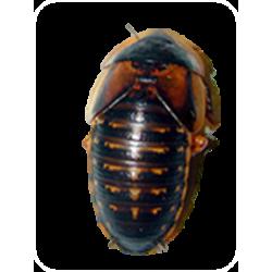 Blaptica dubia (cucaracha argentina) alimento para reptiles, anfibios, mamíferos y aves